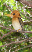 Yellow-billed Kingfisher