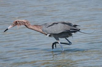 Reddish Egret-Lover's Key