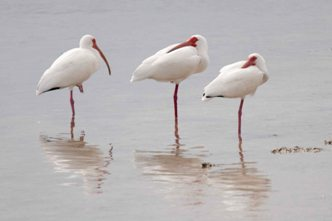 White Ibis - Ding Darling